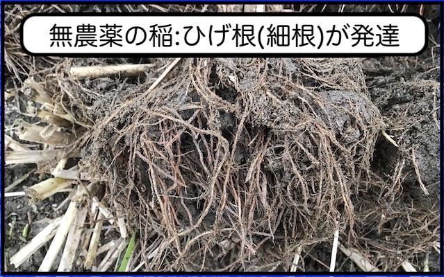 無農薬の稲