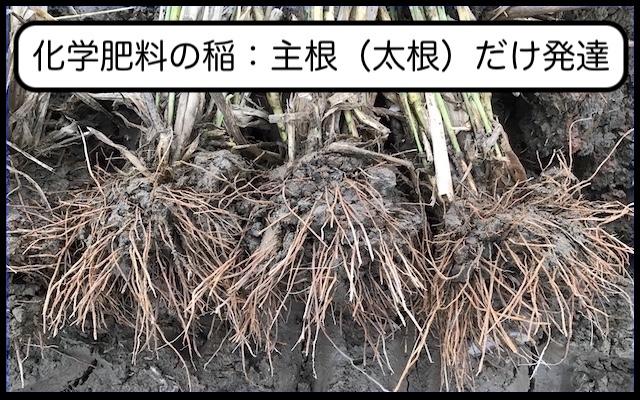 化学肥料の稲